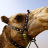 All About Camels… and the Pyramids Camel Scam